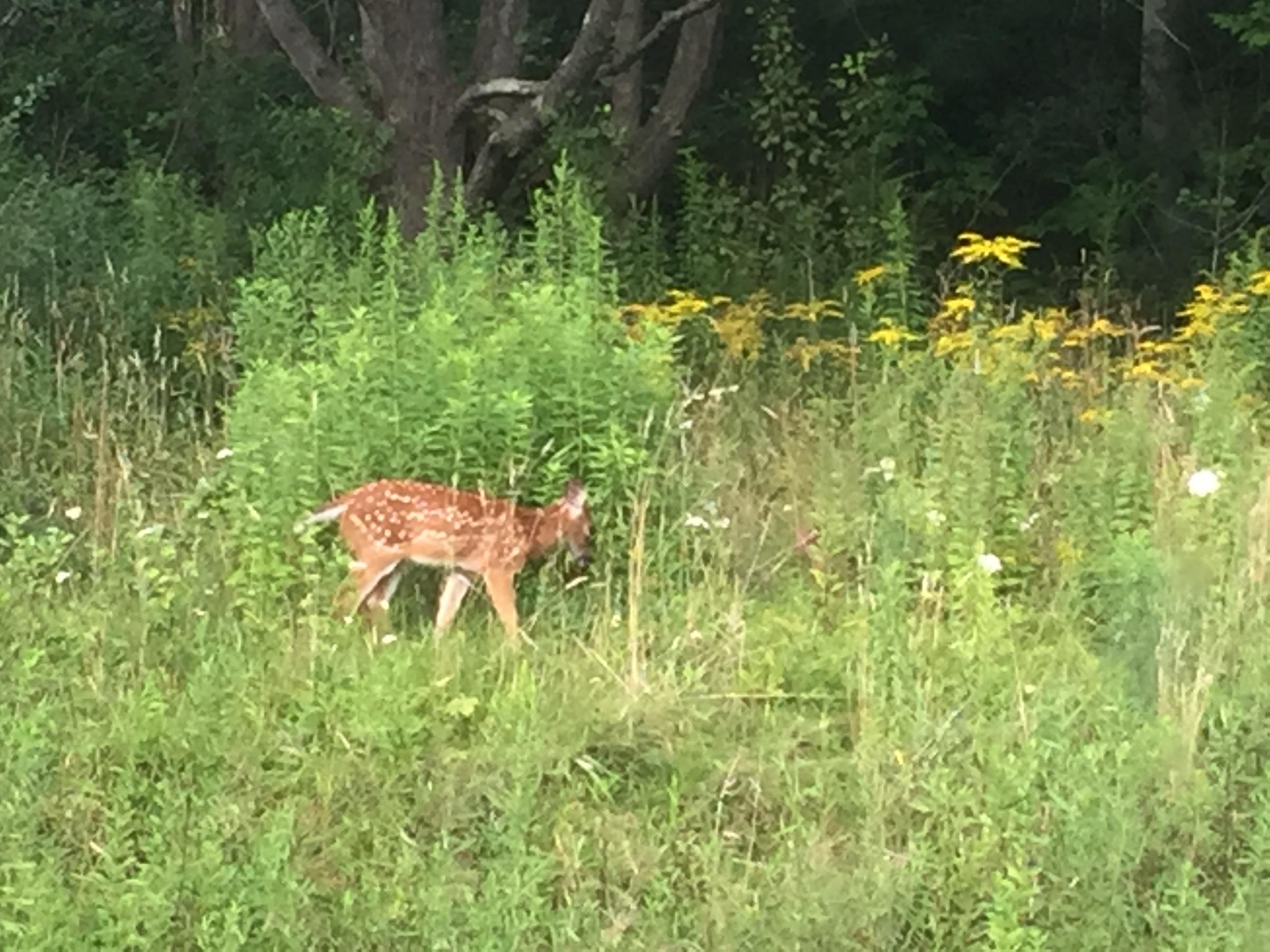 Deer photo Cuba ny backyard for tapestry cartoon