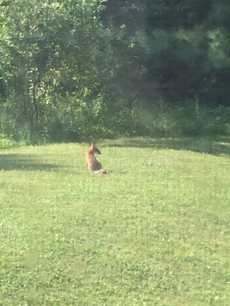 A red or brown fox sitting in a clear patch of grass looking over their right shoulder.